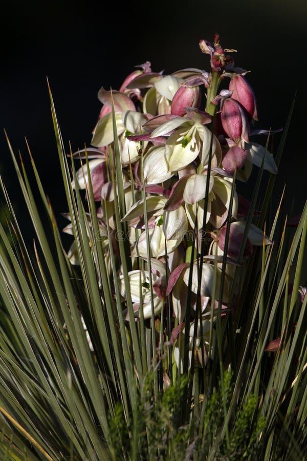 Banana Yucca, Yucca baccata stock photography