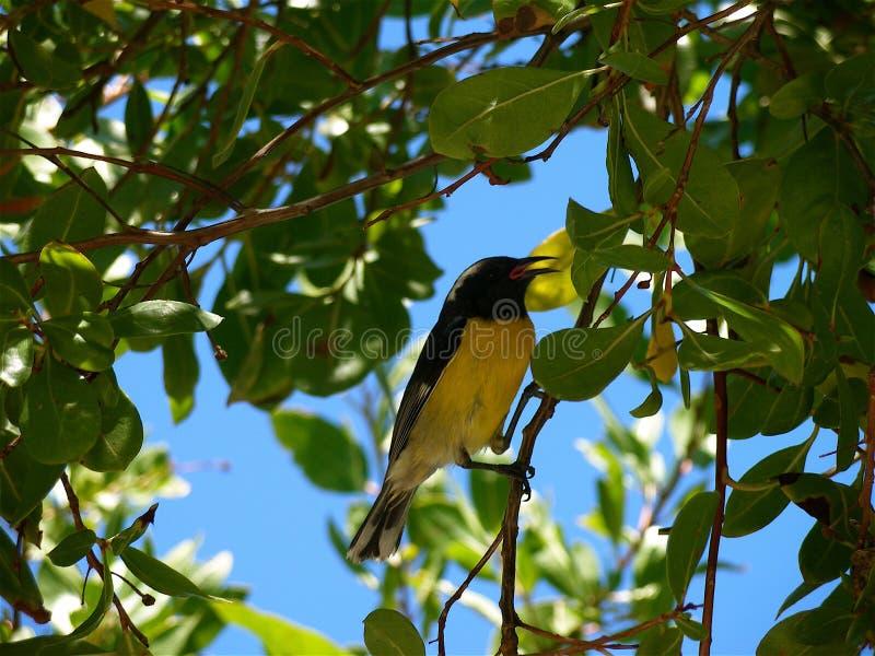 Bananaquit fotografia stock libera da diritti