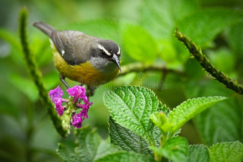 Bananaquit, Coereba flaveola, exotic tropic song bird sitting on the pink flower. Grey and yellow bird in the nature habitat. royalty free stock photography