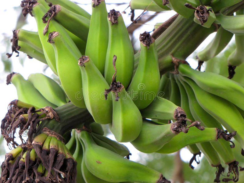 Bananas foto de stock