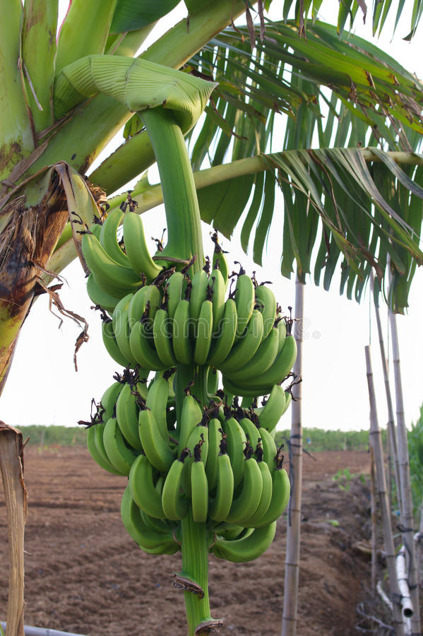 Download Bananas stock photo. Image of banana, green, fruit, agriculture - 26567408