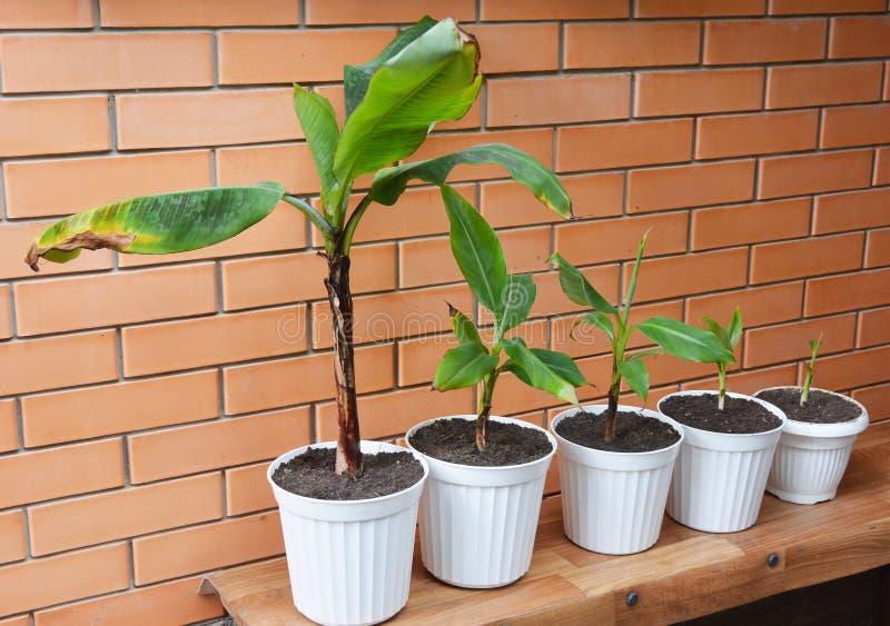 Bananas crescentes - como crescer plantas de banana Flores da transplantação em uns potenciômetros Planta de banana, árvores de b fotografia de stock royalty free