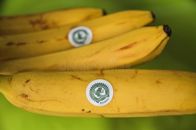 Bananas from Ecuador labeled with the Rainforest Alliance Certified Seal. Rainforest Alliance is a non-governmental organization NGO. Green logo with rainforest stock photo