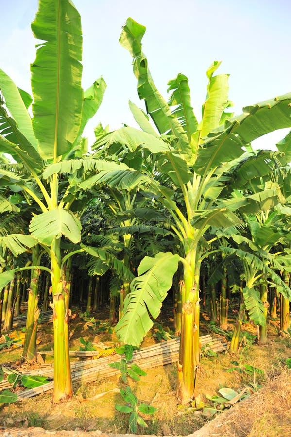 Bananas farm royalty free stock photo