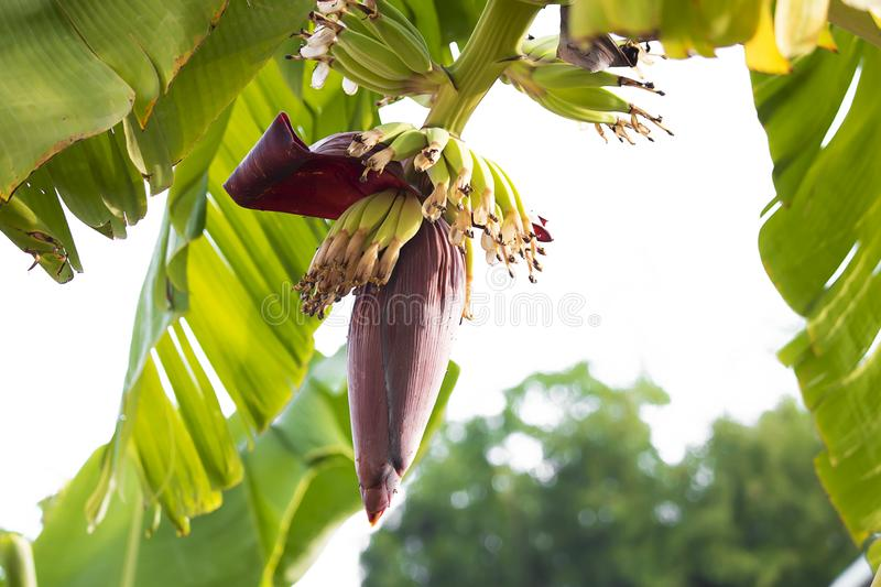 Bananas in the garden are grown naturally. stock images