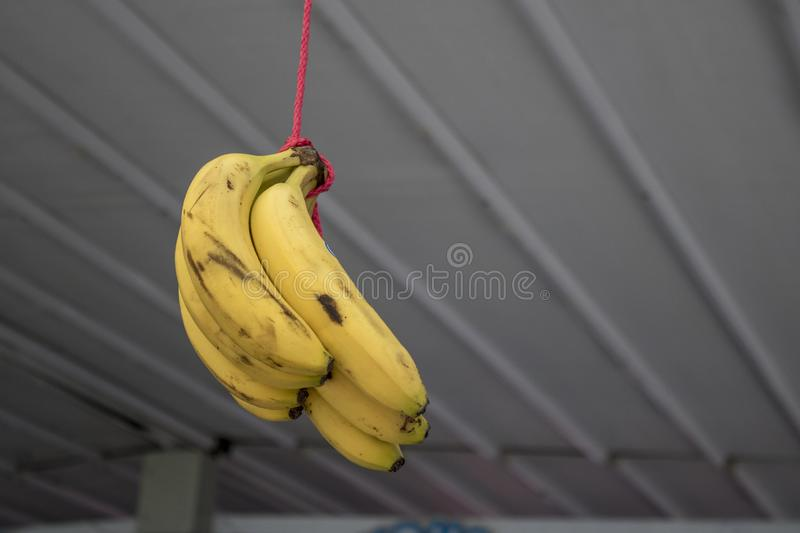 Bananas hanging on the rope. Blurred background. Food, fruit, closeup, agriculture, ceiling, white, bunch, delicious, diet, elephant, fresh, group, health stock images