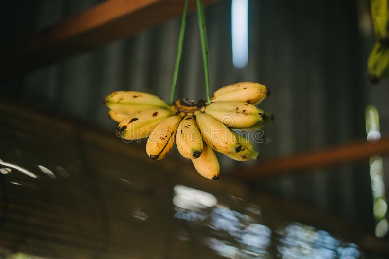bananas hanging on thread royalty free stock photography