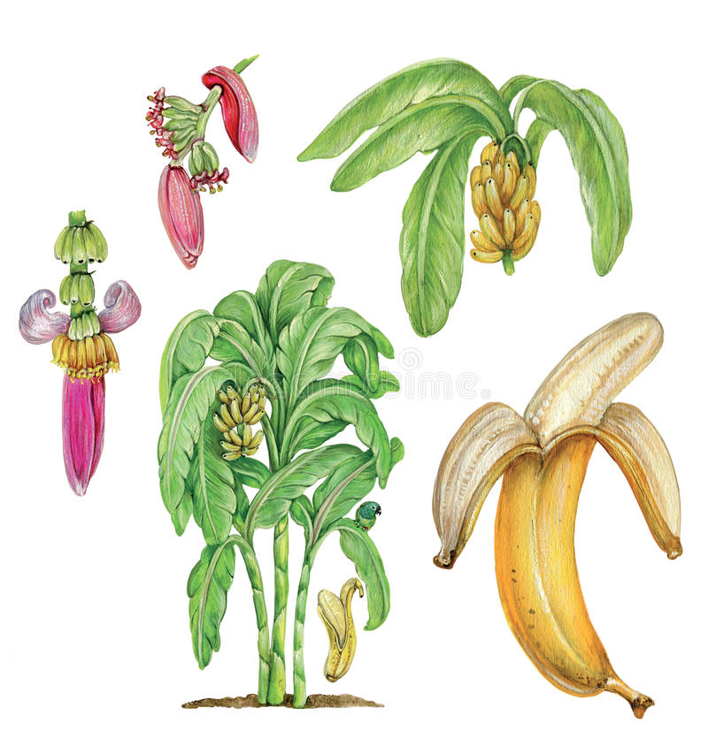 Bananas. An illustration of a plant of bananas Musa paradisiaca with flowers, leaves and fruits vector illustration