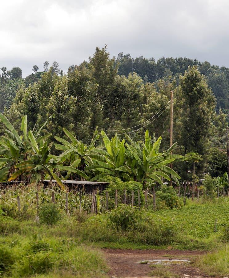 Bananas And Maize Plantation Stock Photo