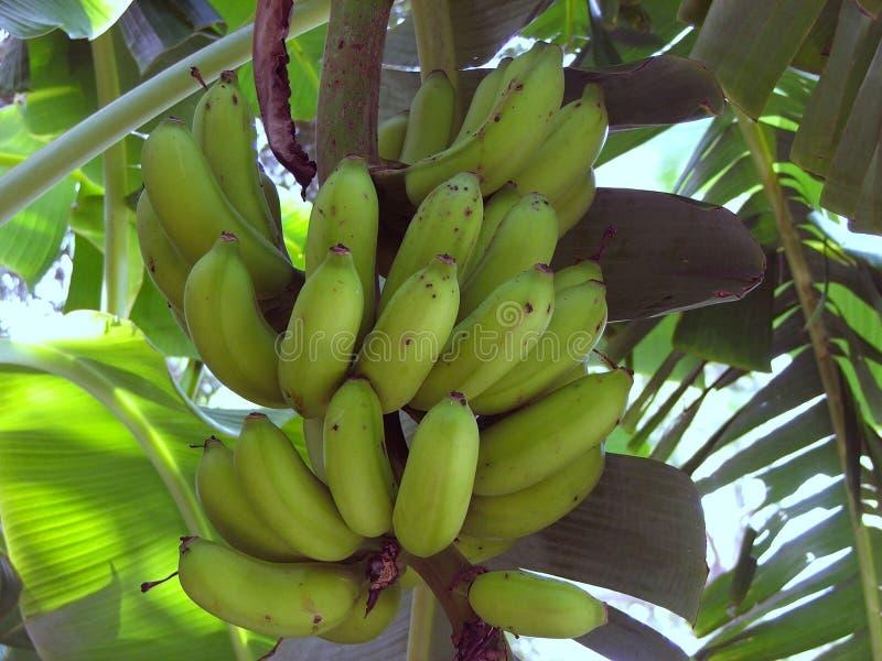 Bananas on the Tree royalty free stock photo