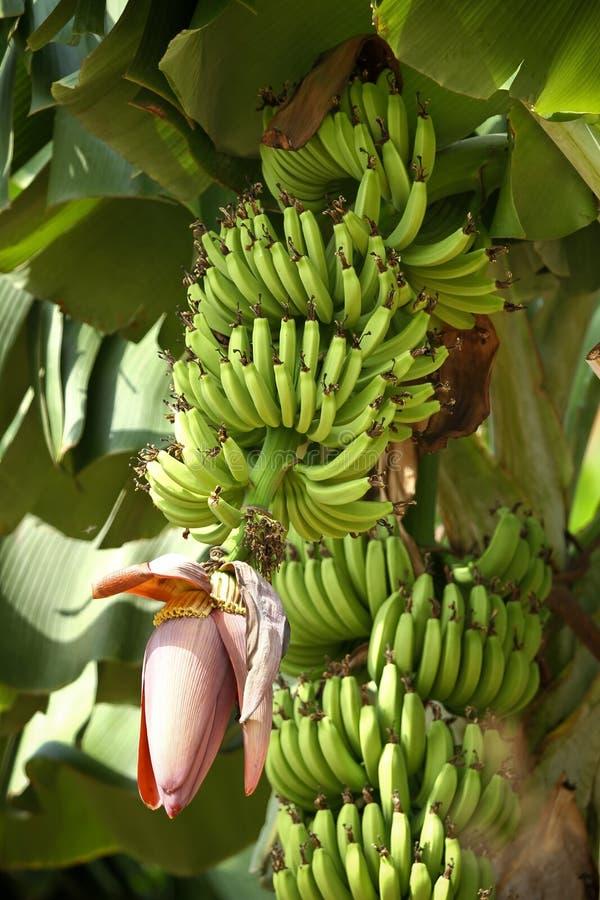 Bananas on tree stock image