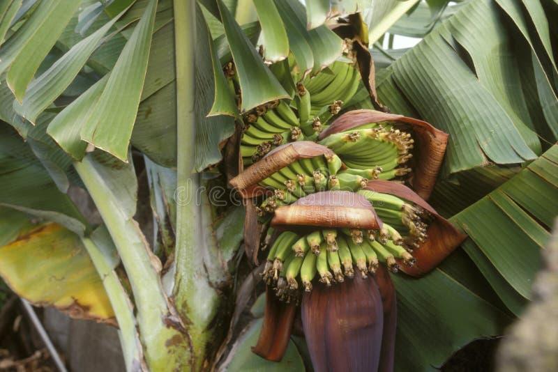 Download Bananas on the tree stock image. Image of ingredient - 23706071