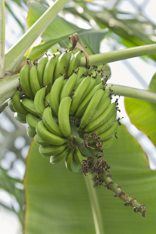Bananas in tree stock photography