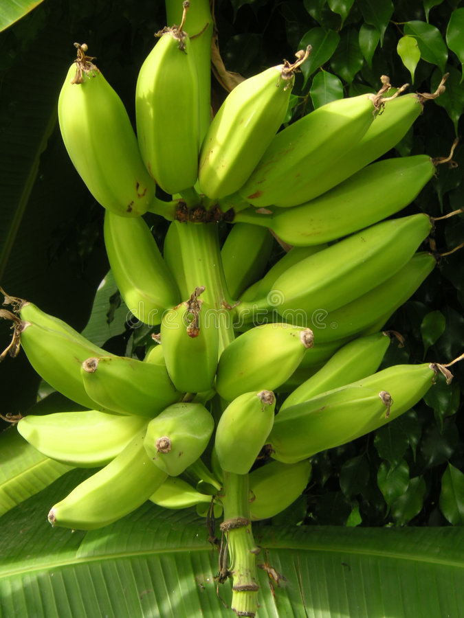 Bananas on the tree stock photography