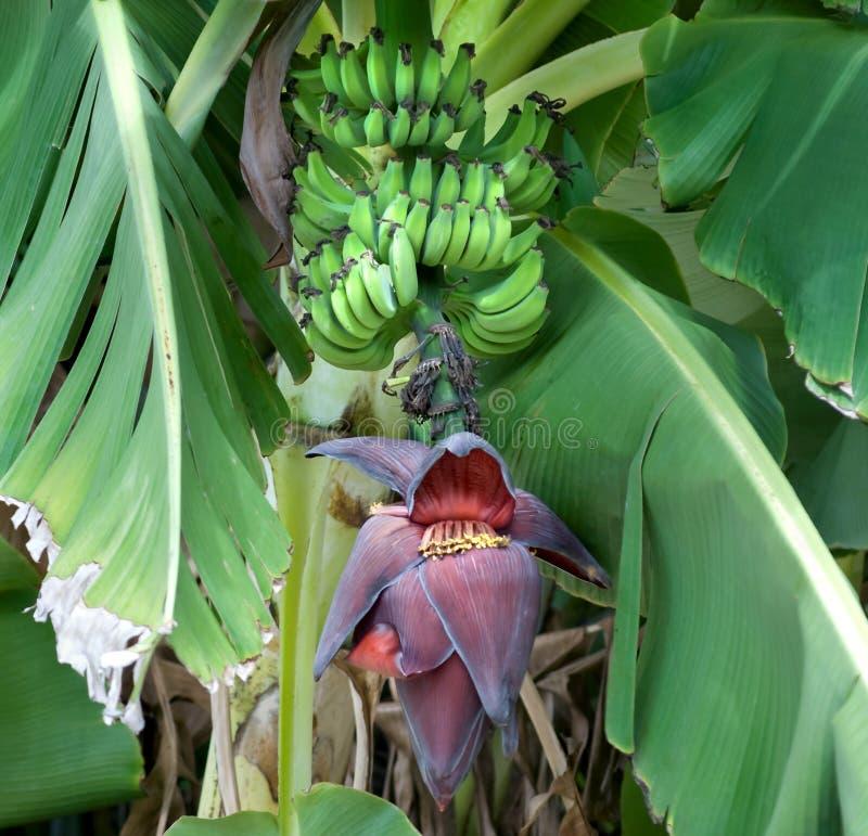 Bananas on Tree WIth Banana Blossom royalty free stock photography