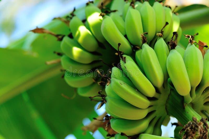Bananas on tree stock photography