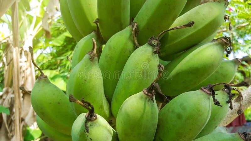 Bananas verdes do close-up no fundo da natureza imagens de stock