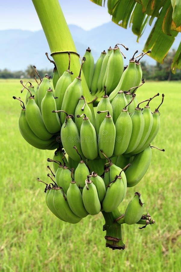 Bananas verdes na árvore fotos de stock