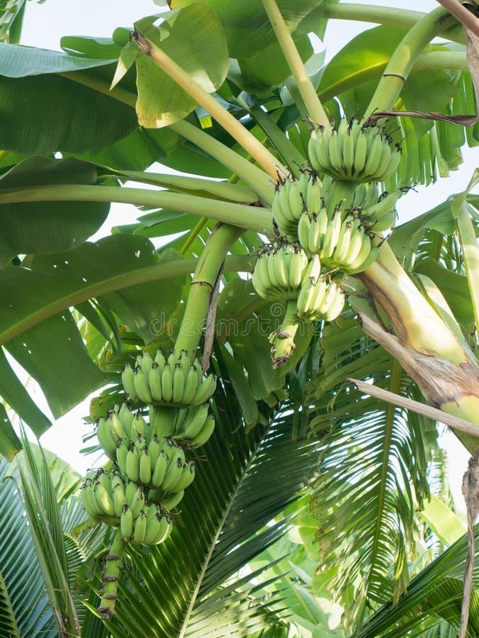 Bananas verdes na árvore de banana imagem de stock royalty free