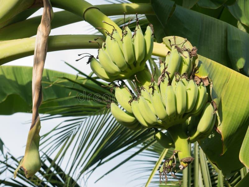 Bananas verdes na árvore de banana fotos de stock