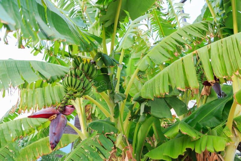 Bananas verdes que penduram na árvore de banana fotos de stock royalty free
