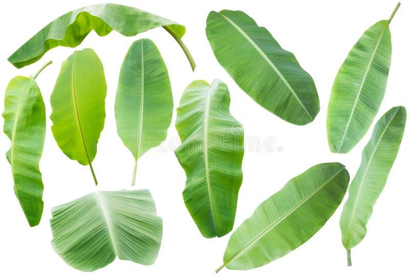 bananblad Isolerat på vitbakgrund med den snabba banan royaltyfria foton