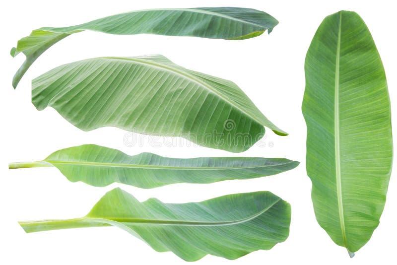 bananblad Isolerat på vitbakgrund med den snabba banan royaltyfri foto