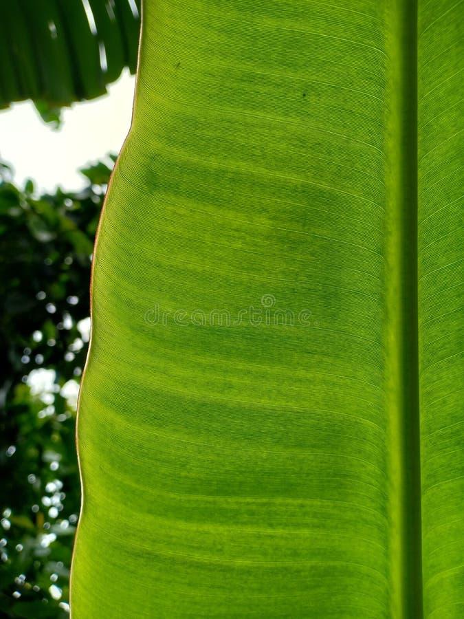 Bananblad med detaljerad textur royaltyfria bilder