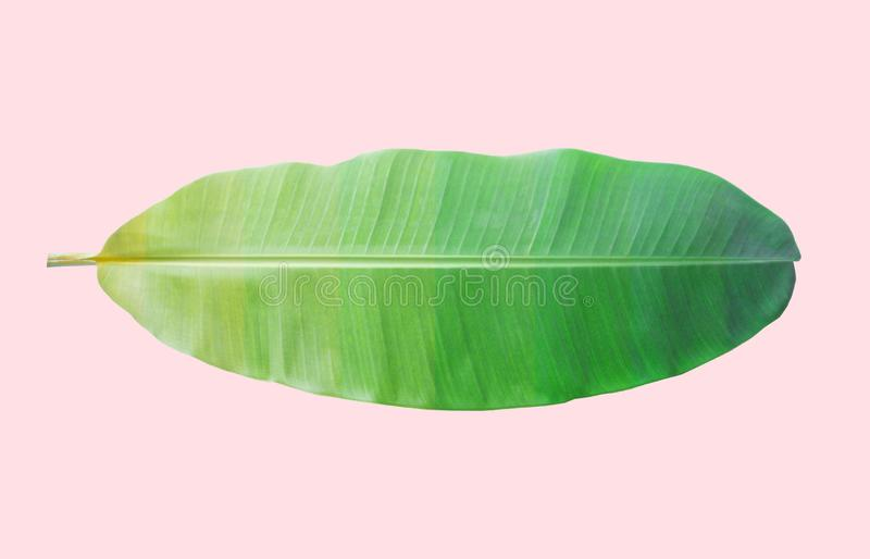 bananblad på rosa bakgrund med den snabba banan arkivbild