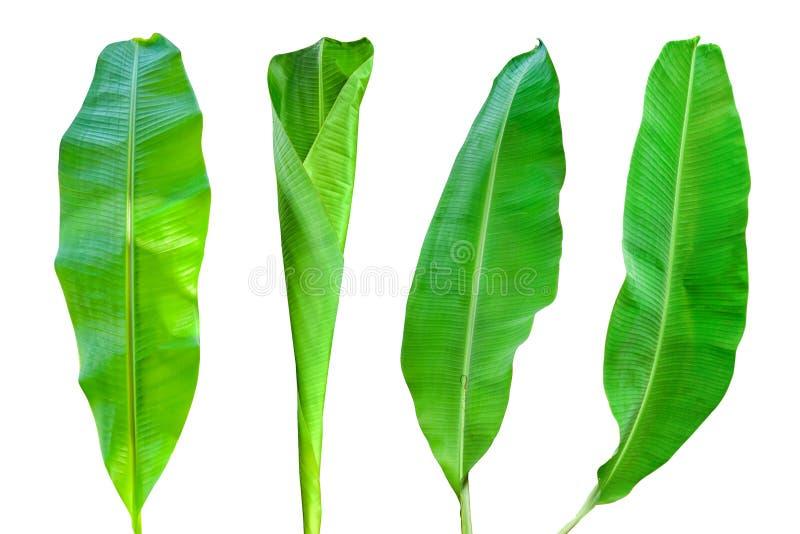 Bananblad p? vit bakgrund arkivbild