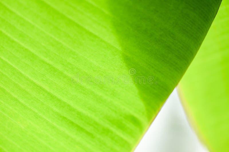 Bananblad - sidagräsplanen av bananträdet texturerade abstrakt bakgrund royaltyfri foto