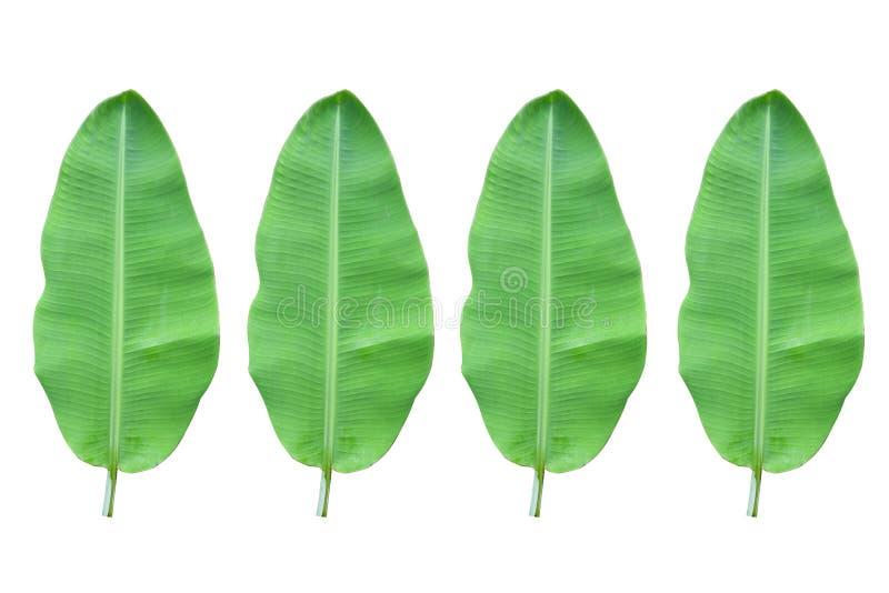 Bananblad som isoleras på vit bakgrund gröna blad som isoleras på vit bakgrund royaltyfri bild