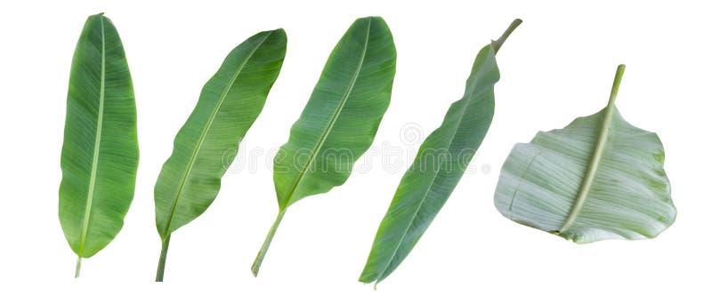 Bananblad som isoleras på vit bakgrund med den snabba banan arkivbild