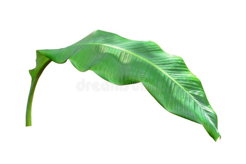 Bananblad som isoleras p? vit bakgrund arkivbild