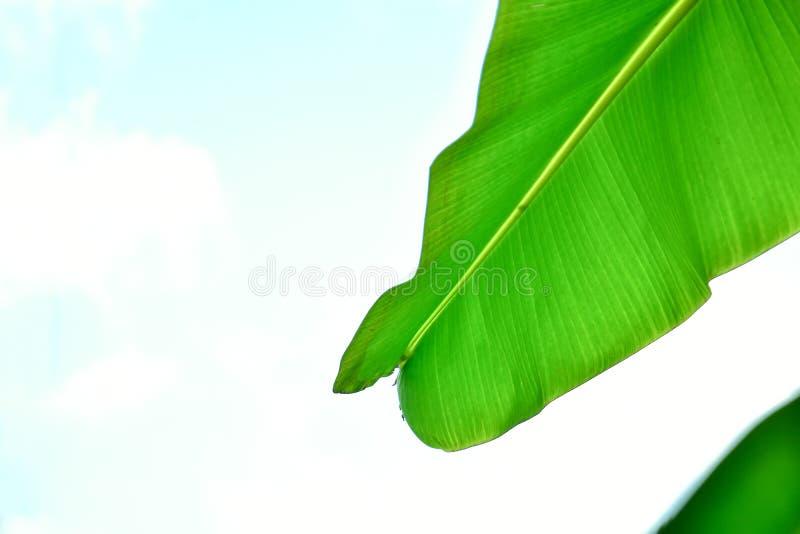 Bananblad som isoleras p? vit bakgrund arkivfoton