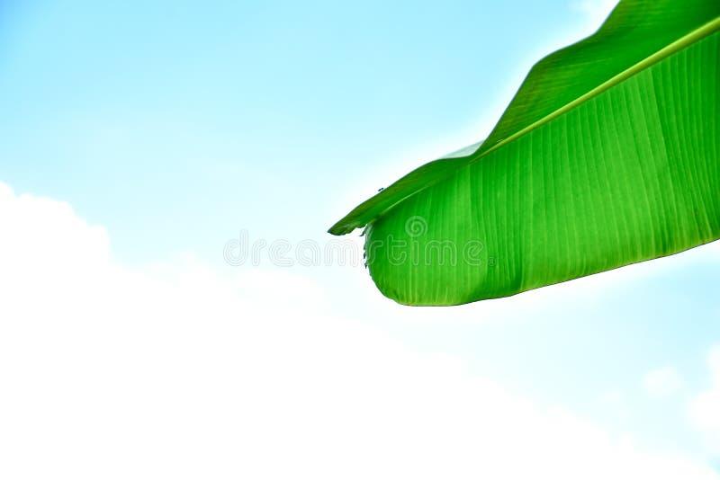 Bananblad som isoleras p? vit bakgrund royaltyfri bild