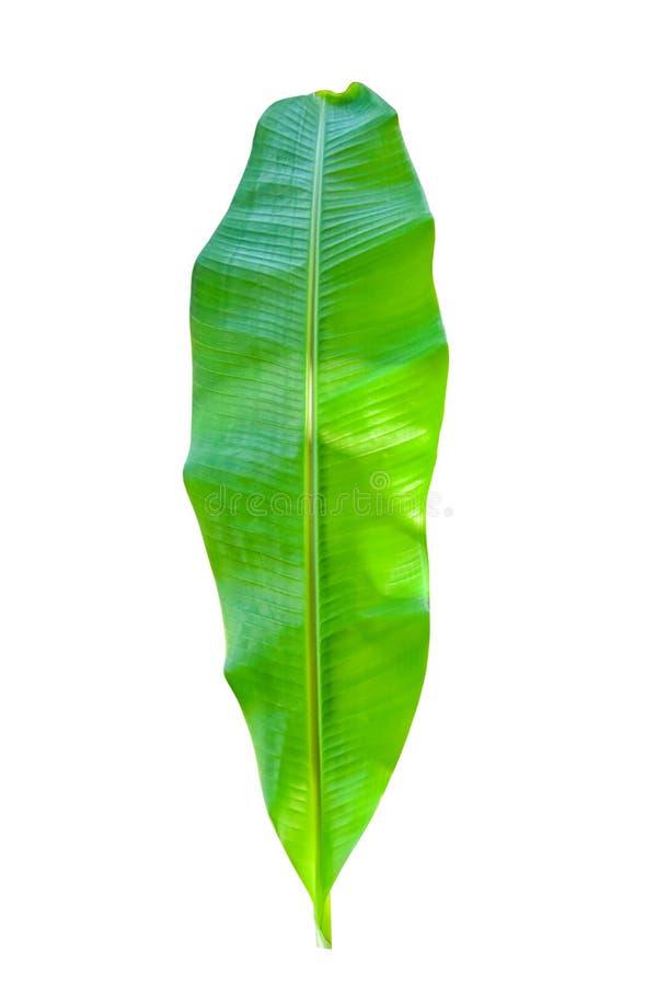 Bananblad som isoleras p? vit bakgrund arkivfoto