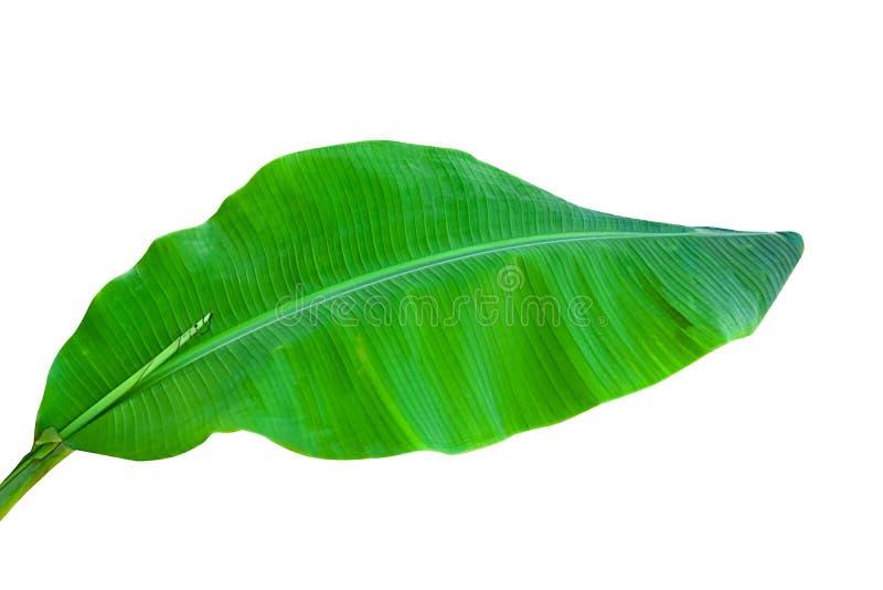 Bananblad som isoleras p? vit bakgrund royaltyfri fotografi