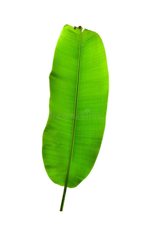 Bananblad som isoleras p? vit bakgrund arkivbilder