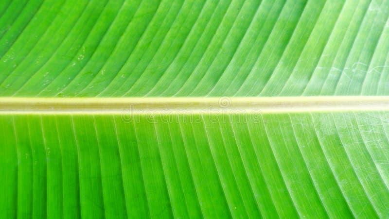 Bananbladbakgrund och strimma på den gröna bladbananen arkivfoto