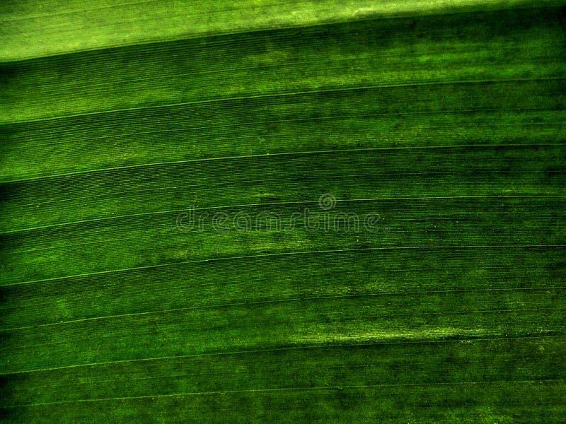 Bananbladtextur arkivbild
