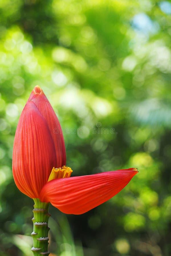 Bananblomma som blommar i trädgården med grön bakgrund royaltyfri foto