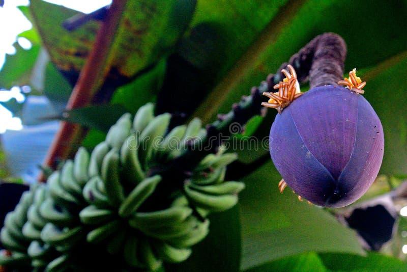 Banane, Annah Rais, Sarawak, Malaysia lizenzfreie stockbilder
