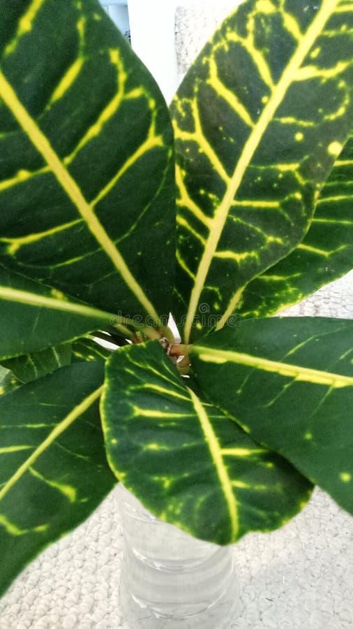 Banane Crotonzimmerpflanze stockfoto