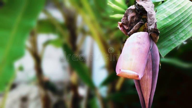 Banane de bébé image libre de droits