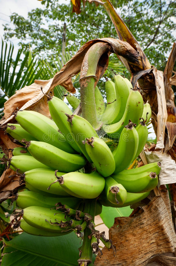 Banane de Cavendish photographie stock