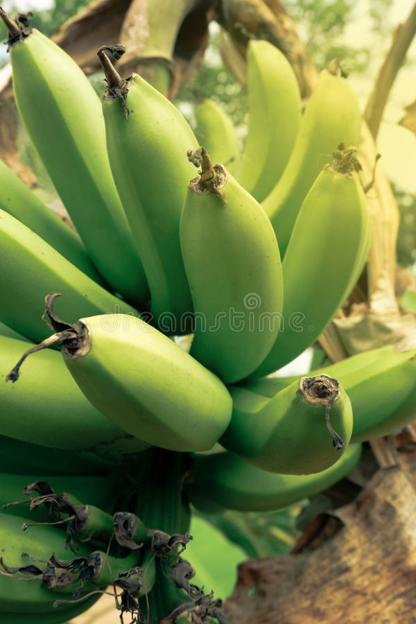 Banane de Cavendish images stock