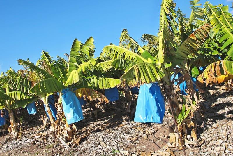 Banane di maturazione cipro del sud fotografia stock for Albero di banane