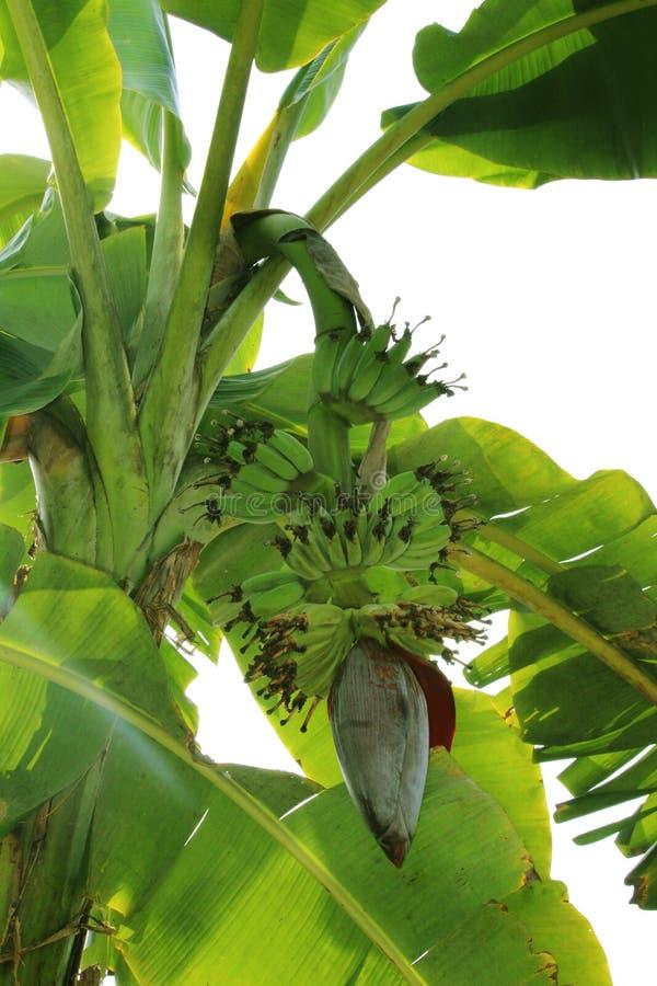 Banane mit Bananenblume stockfoto