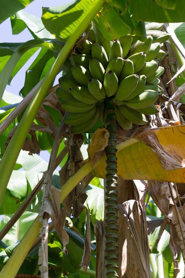 Banane su un albero fotografia stock libera da diritti